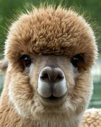 Cute image of an Alpaca's face