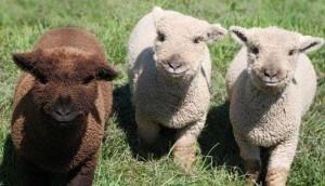 Baby Alpacas