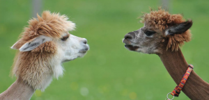alpacas (AP Photo - Kerstin Joensson).png