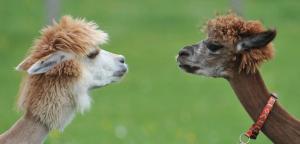 alpacas (AP Photo - Kerstin Joensson).png